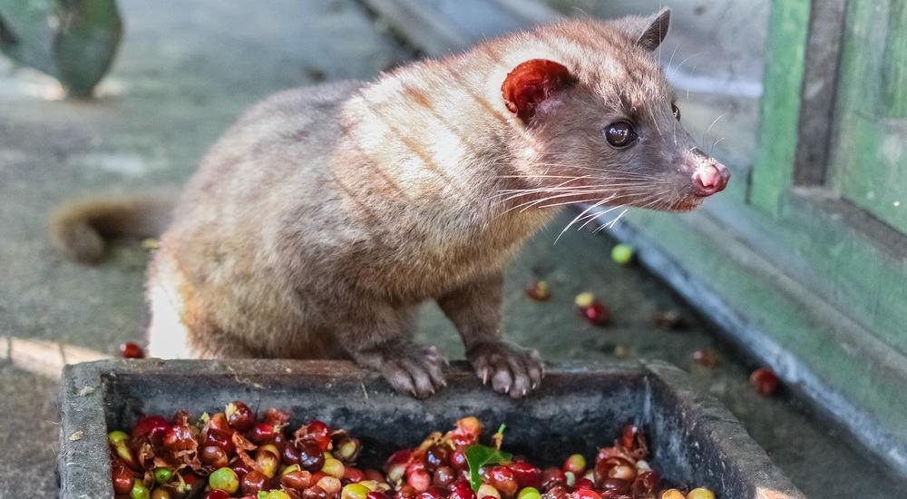 Luwak (civet cat) eating coffee bean