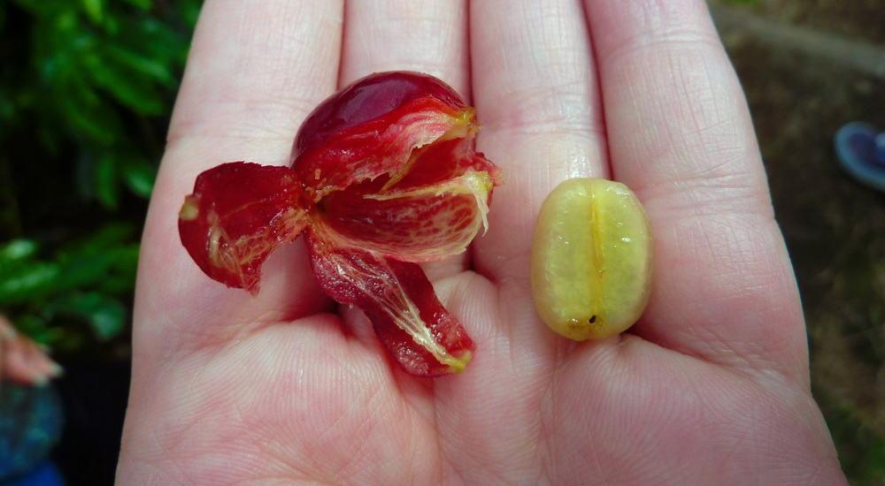 coffee bean cherry fruit
