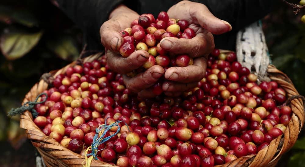 basket of coffee bean cherry